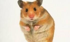 Supărarea  Hamsterului